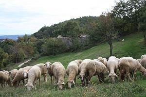 pecore sepino